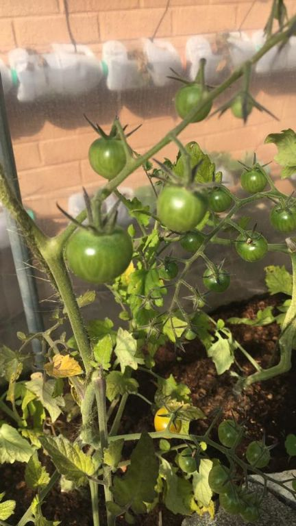 webpic tomatoes
